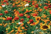 Blumenmischungen bis 100 cm hoch