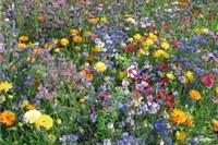 Blumenmischungen bis 60 cm hoch