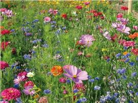 """Sommerpflücken:   """"SOMMERPFLÜCKEN"""" besteht aus ganz einfachen Blumen wie Kornblume, Schmuckkör"""