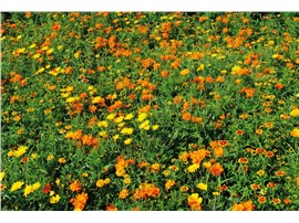 Orient:   Eine niedrige Blühmischung mit gelb-, orange- und rotfarbigen Blüten.   Ei