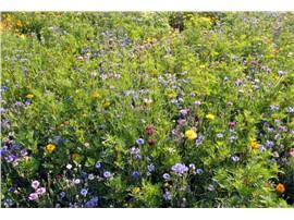 Nützlingsnutzen:   Dekorative Mischung, die speziell zur Unterstützung für integrierten Pflanze