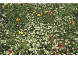AUSTROSAAT Blumenwiese:   Diese Mischung enthältRasensaatgut gemischt mit über 50Blumenarten,die zu