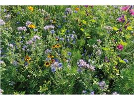 Bienen & CO. KG:   Abgesehen von ihrem hohen Nektargehalt, ist diese Mischung einjähriger Blume