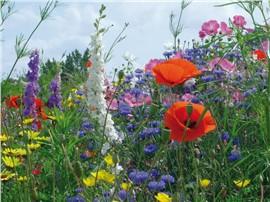 Ländliche Blumen:   Die Vielfältigkeit dieser Mischung ist beeindruckend.   Sie besteht aus ca