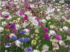Pastell:   DieBlütenfarben dieser Mischung ergeben ein äußerst harmonisches Bild.